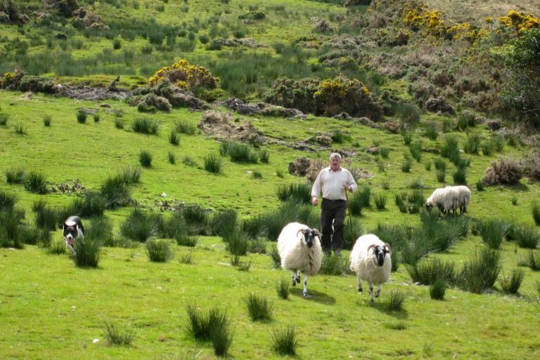 Квалифицированный пастух