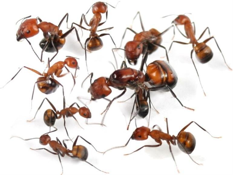 Колония азиатских муравьев Camponotus nicobarensis