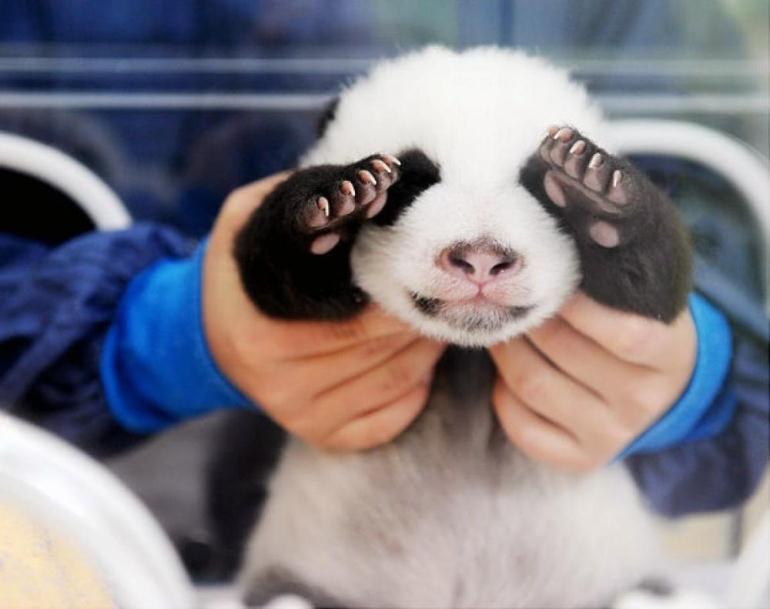 Сколько получает обниматель панд