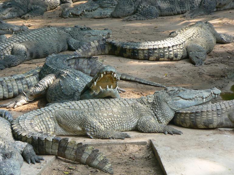 Стоимость открытия фермы крокодилов