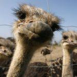 Стоимость создания страусиной фермы