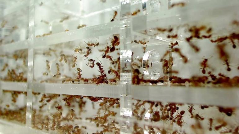 Колония-муравьев